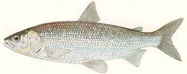 lake-herring
