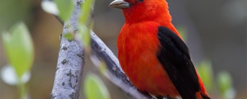 scarlet-taneger