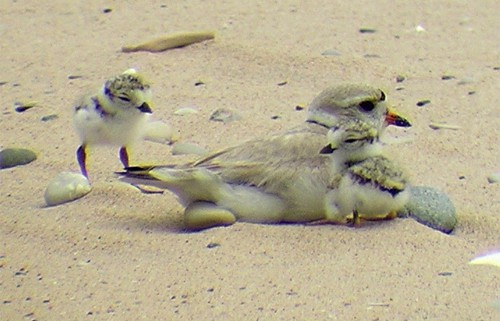 Piping-Plover-Adult-and-Chicks