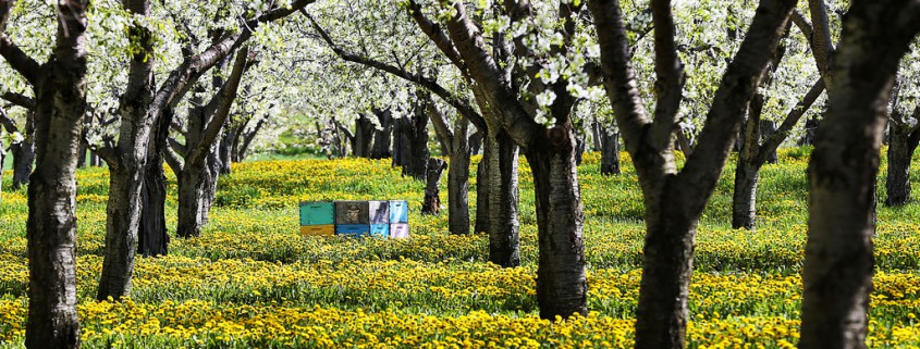 Bees-and-Blossoms-by-45th-parallel-exposure