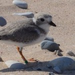 Piping Plover Sleeping Bear Lakeshore